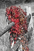 Tendrils Posters - Desaturated Virginia Creeper on Fence Poster by Teresa Mucha