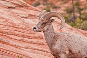 Mammalia Framed Prints - Desert Bighorn Ram Framed Print by Rich Leighton