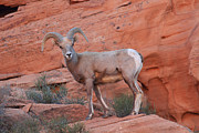 Steve Wolfe - Desert Bighorn Sheep at...