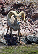 Desert Lake Posters - Desert Bighorn Sheep Poster by David Salter