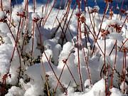 Diana Shay Diehl - Desert Buckwheat in Snow