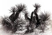 Brenda Giasson - Desert Cactus