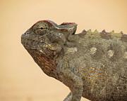 Ramona Johnston - Desert Chameleon