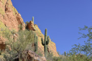 Saguaro Metal Prints - Desert Plants of The Superstitions Metal Print by Christine Till