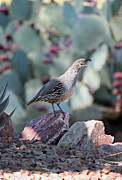 Quail Photos - Desert Quail by Suzanne Gaff