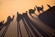 Camels Photos - Desert shadows by Delphimages Photo Creations