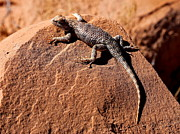 Marty Fancy - Desert Spiny Lizard