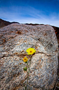 Desert Plants Photos - Desert Sunflower by Peter Tellone