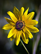 Aster  Framed Prints - Desert Sunflower Framed Print by Robert Bales