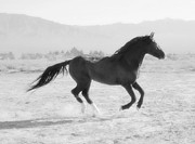 Paso Fino Horse Photos - Desi Black and White by Jenn La Mana