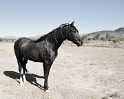 Paso Fino Horse Photos - Desi in the Desert by Jenn La Mana