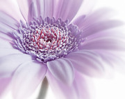 Light Framed Prints Posters - Destiny - White Pink Purple Close Up Flowers Fine Art Photography Poster by Artecco Fine Art Photography - Photograph by Nadja Drieling