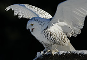 Snowy Night Art - Destinys Journey - Snowy Owl by Inspired Nature Photography By Shelley Myke