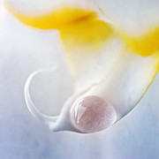 Drop Prints - Detail Of An Orchid With A Water Drop Print by Priska Wettstein
