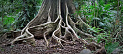 Tree Roots Photo Posters - Detail Tree Roots Rain Forest Poster by Dirk Ercken