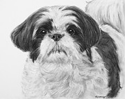Pooch Drawings Posters - Detailed Shih Tzu Portrait Poster by Kate Sumners