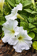 Green Leaves Pyrography Posters - Detailed White Petunias Poster by Linda Phelps