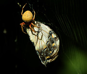 Big Spider Framed Prints - Devouring Beauty Framed Print by Rebecca Sherman