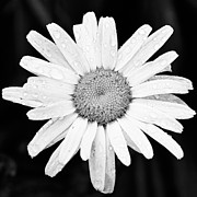 Black And White Abstract Art - Dew Drop Daisy by Adam Romanowicz