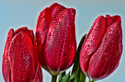 Dew-dropped Tulips Print by Don Schwartz