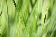 Dew Drops In Long Sunlit Grass Print by Natalie Kinnear