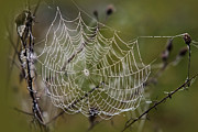 Morning Dew Posters - Dew Drops Spider Web Poster by Christina Rollo