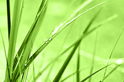 Green Blade Of Grass Posters - Dew in grasses Poster by Jana Behr