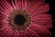 Dewdrops Prints - Dew on a Gerbera Daisy Print by Zoe Ferrie