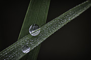 David Longstreath Metal Prints - Dew on Rice Stalks 2 Metal Print by David Longstreath