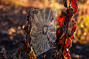 Debra Vronch Metal Prints - Dew on Silk Metal Print by Debra Vronch