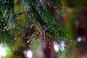 Pine Needles Photos - Dew on the Tips by Stephen Prendergast
