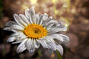 Dew Covered Posters - Dewy Daisy Poster by Sari Sauls