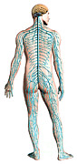 Human Anatomy Prints - Diagram Of Human Nervous System Print by Leonello Calvetti