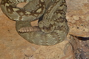 George Bostian - Diamondback Rattlesnake...