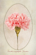 Dianthus Caryophyllus Carnation Print by John Edwards