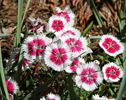 Cathy Lindsey Photos - Dianthus Cluster by Cathy Lindsey