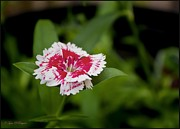 Obryant Photos - Dianthus Fower by Tyra  OBryant