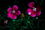 Donald Chen - Dianthus Singapore Flower