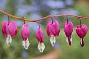 Dicentra Spectabilis Posters - Dicentra Spectabilis Bleeding Heart Flowers Poster by Tim Gainey
