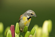 Sharon Watson  - Dickcissel in the Garden