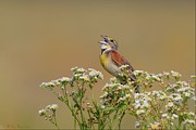 Dickcissel On Wild Daisies Print by Daniel Behm