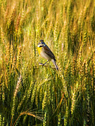 Bird Digital Art Prints - Dickcissel Posing on Wheat Head Print by J Larry Walker