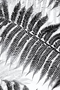 Frond Posters - Dicksonia antarctica Tree fern Monochrome Poster by Tim Gainey
