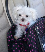 Toy Maltese Photos - Did I hear GO by Mountain Femme