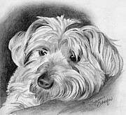 Yorkie Drawings - Did You Say Get Down by Suzanne Schaefer