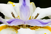 Wild Iris Posters - Dietes grandiflora Close-up Poster by David Waldo
