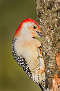 Woodpeckers Photos - Diggin by Bill  Wakeley