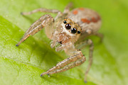 Jumping Spider Photos - Dimorphic Jumper I by Clarence Holmes