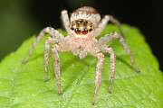 Jumping Spider Photos - Dimorphic Jumper II by Clarence Holmes