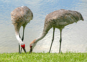 Cranes Framed Prints - Dining Together Framed Print by Sabrina L Ryan